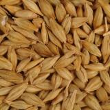 Зърна ечемик