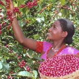 Бране на кафе в Африка
