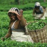 Берачи на чай в Индия