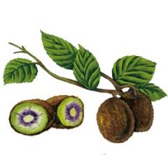 Рисунка на плод киви на Монин