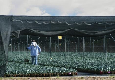Бейби агавета, готови за засаждане
