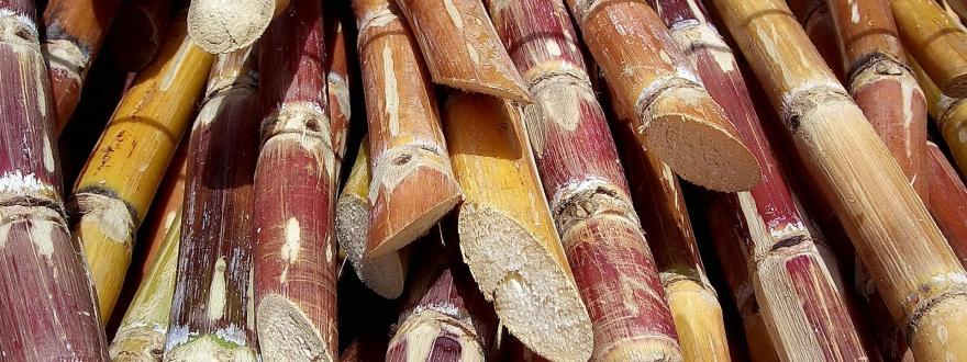 Отрязани стъбла захарна тръстика