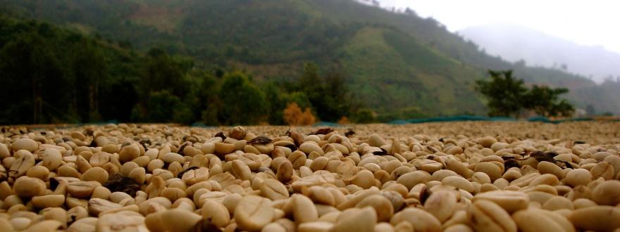 Сушене на сурово кафе