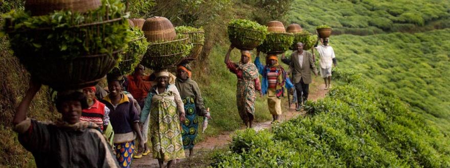 Берачи на чай в Руанда
