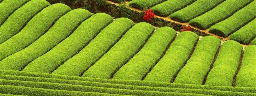 Чаена плантация 1