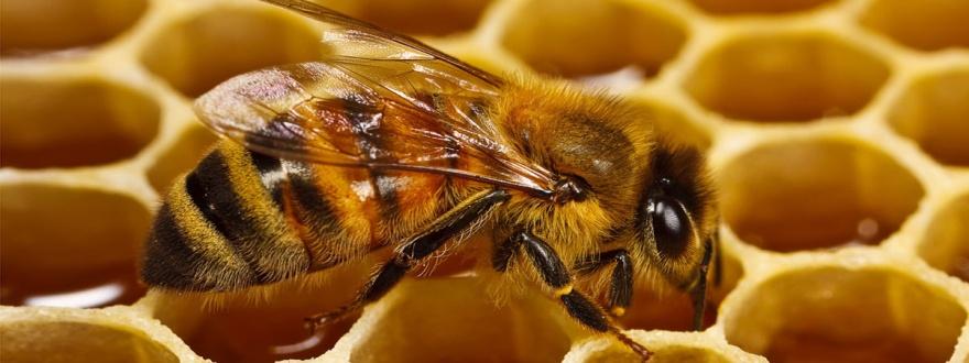 Пчела прави мед панорамна