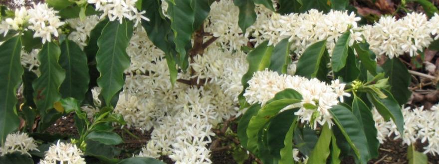 цъфтеж на кафееното дърво