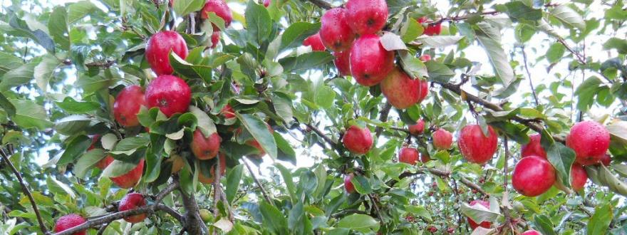 Клони на ябълково дърво с ябълки