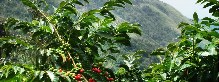 кафеено дърво